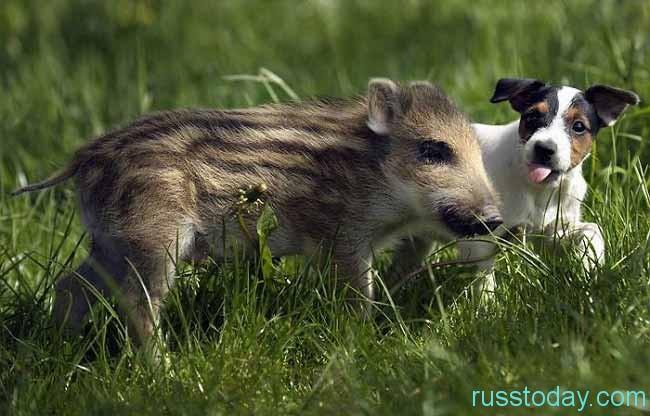 Собака и Кабан