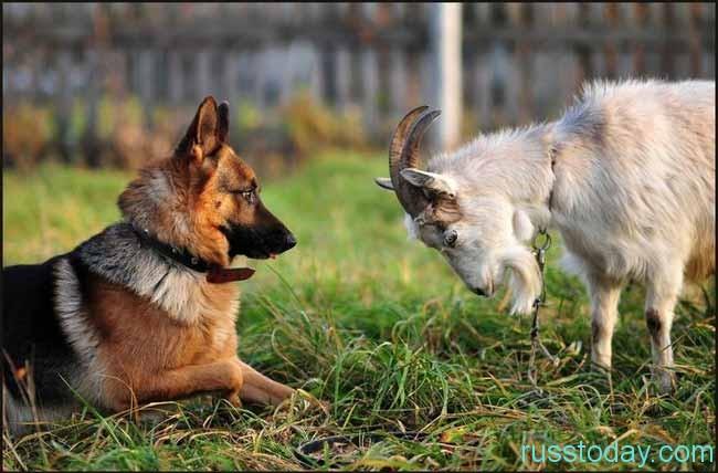 Собака и Коза