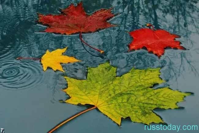 кленовые листья в луже