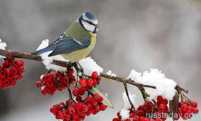 птичка и зимние ягодки