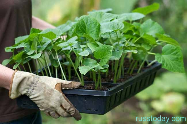 садим рассаду