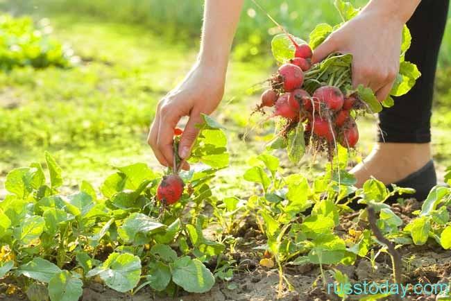 урожай редиски
