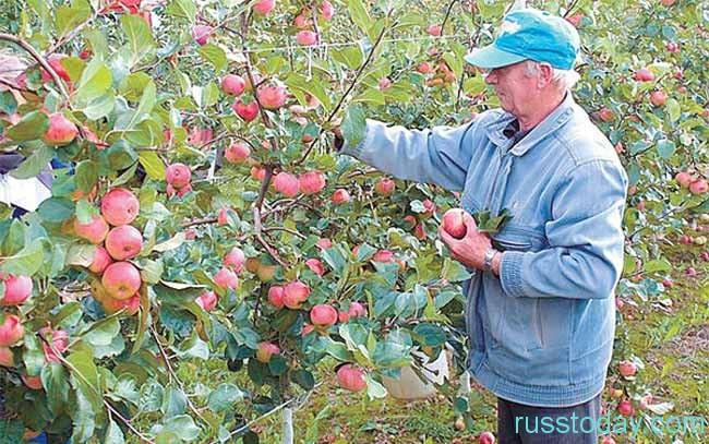 Садоводы собирают зимние яблоки
