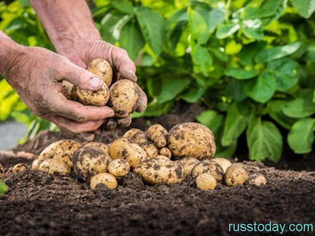 сбор картошки