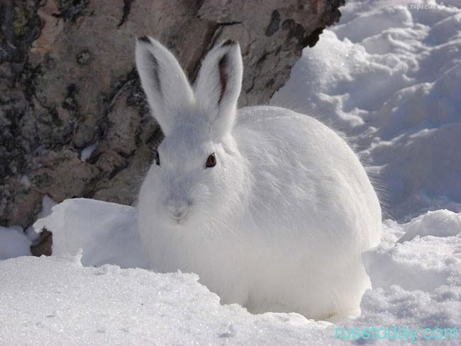 """заяц в лесу """"переодевается"""" в белую шубку"""