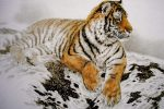 Для большинства Тигров наступающий этап времени станет позитивным и весьма плодотворным