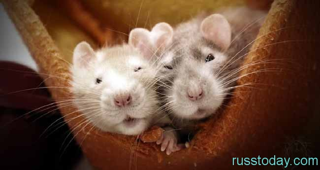 Гороскоп для Крысы на Октябрь 2018 года