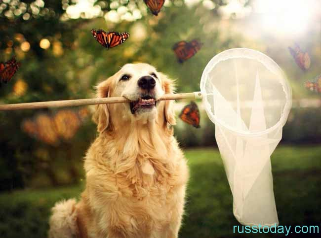 Смелая и горделивая Желтая Собака