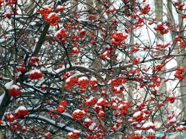 Обилие плодов на рябине