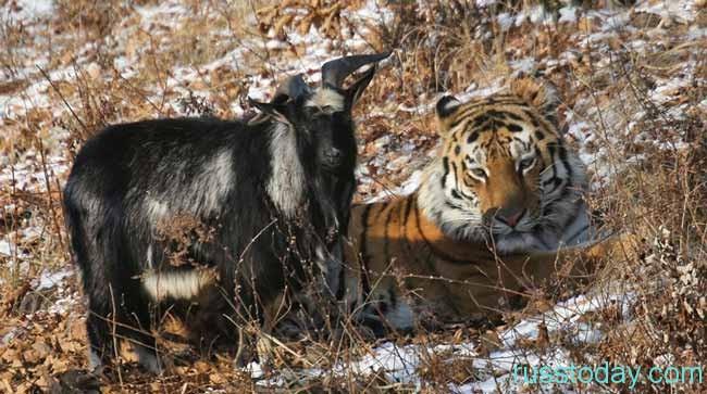Коза и Тигр