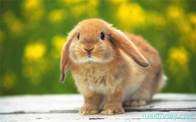 представитель кролика