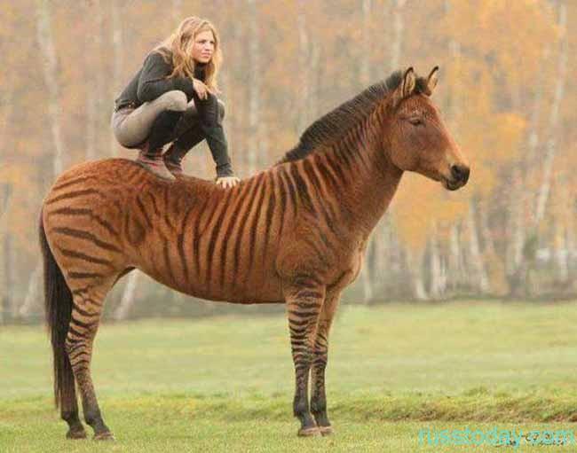Лошадь-тигра