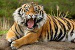 Для представителей знака Тигр
