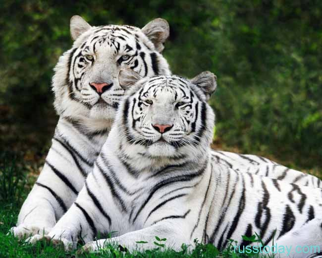 тигры-альбиносы