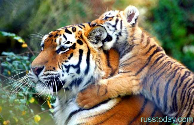 тигренок и папа-тигр