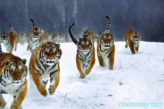 стая тигров