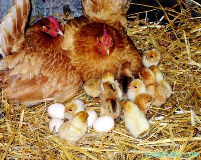Петух,курица и цыплята