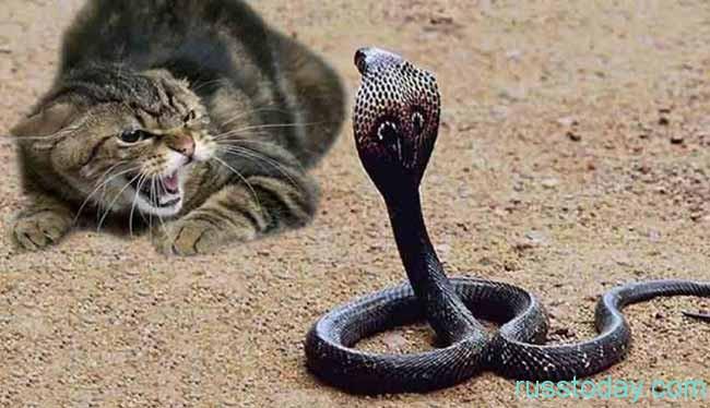 Кот и Кобра