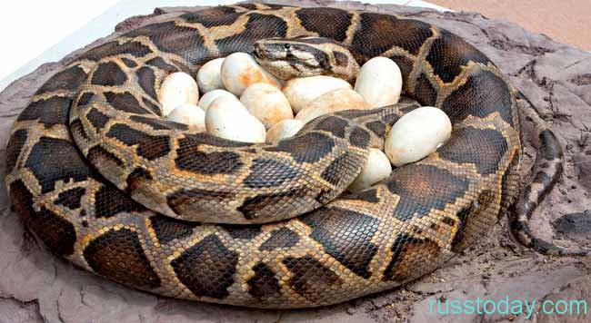Змея и яйца