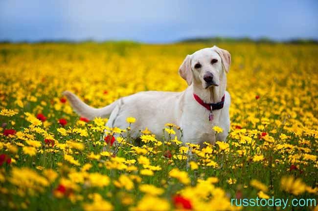 собачка на желтом поле