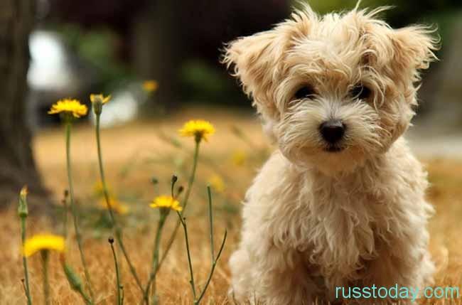 собачка-малютка