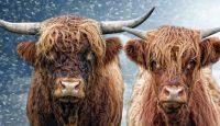 красивые быки
