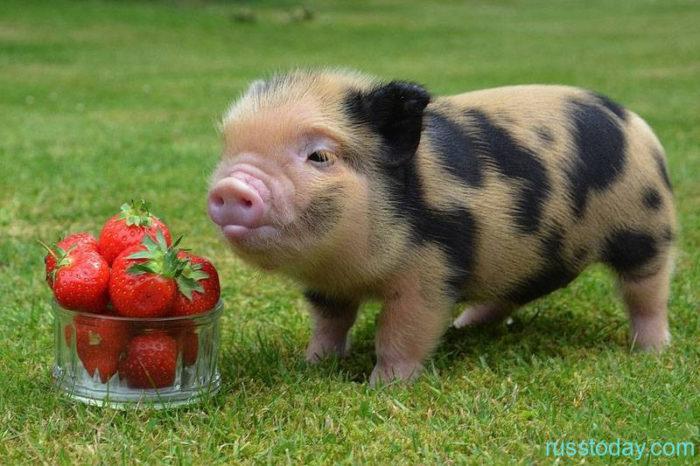 свинка и клубничка