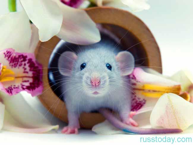 Что уготовлено для Крысы?