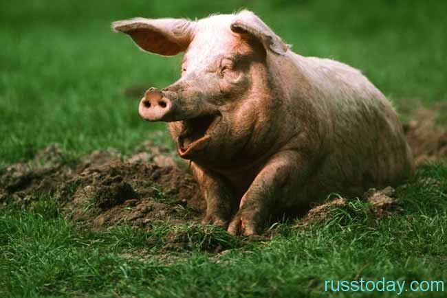 Что ждет Свинью?