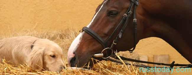 Свинья для Лошади