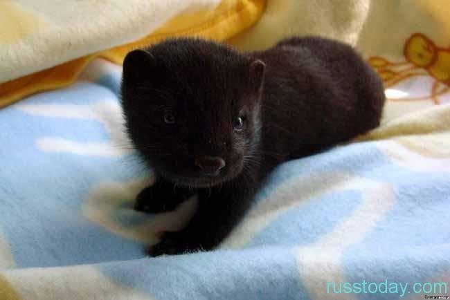 Норка – маленький, пушистый зверек
