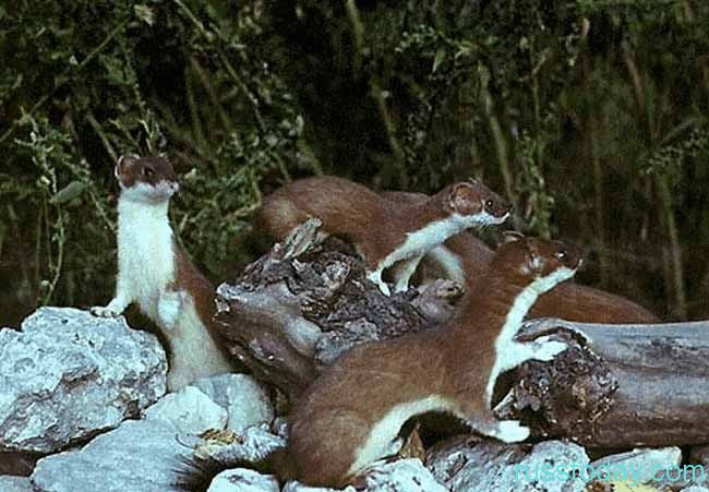 Горностай - Молниеносный Охотник