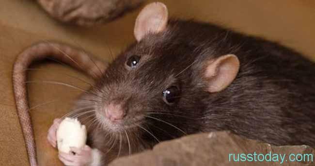 Править Крыса будет в 2020