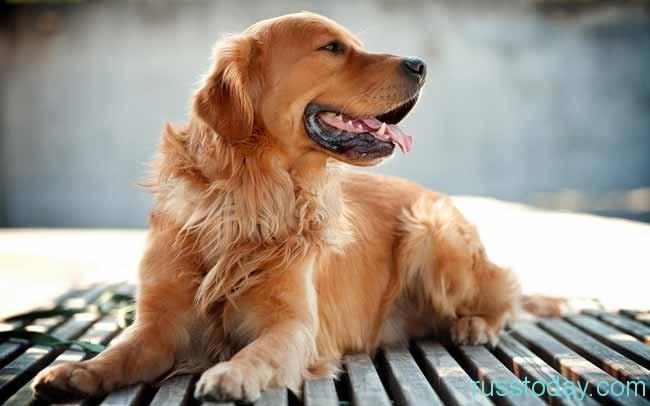 год желтой, земляной Собаки
