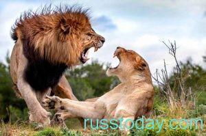 для решительного Льва