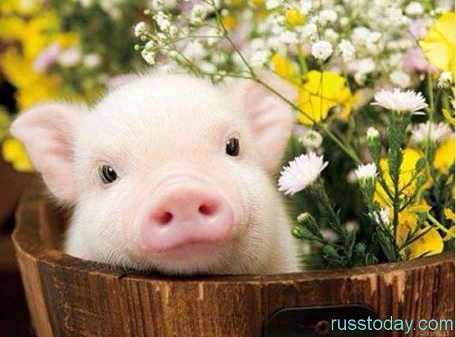 Характеристика детей, которые рождены в год Свиньи