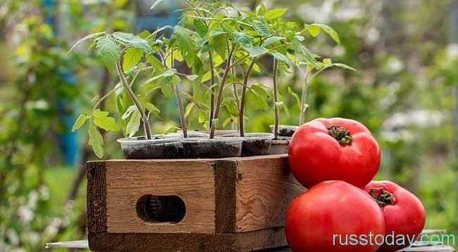 В этом месяце лучшевсего высаживатьрассадуиз семян томатов
