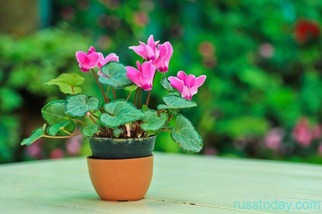 один комнатный цветок