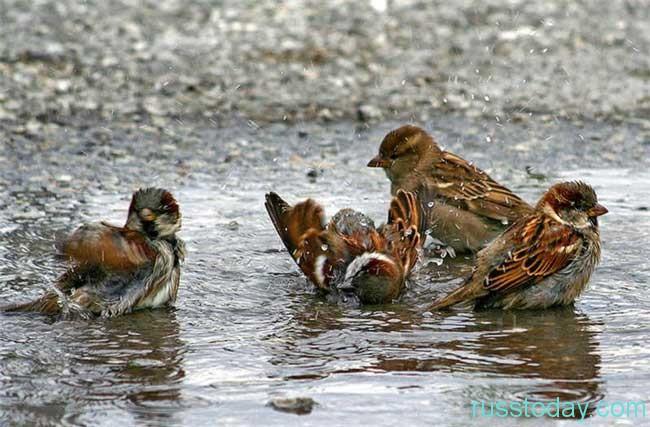 воробушки начинают весело купаться в первых лужах