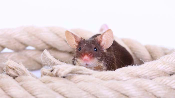 Крыса (2020 год)